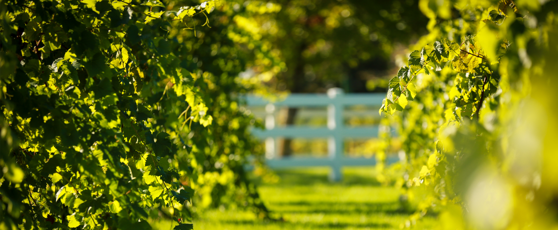 vineyard-szied